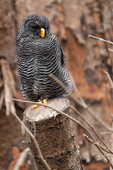 Scottish Owl Centre 8 (Five Second Rule) Tags: scottishowlcentre scotland owl bird polkemmetcountrypark whitburn wildlife birds perched wings flying 2019 april
