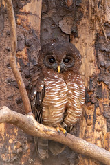Scottish Owl Centre 13 (Five Second Rule) Tags: scottishowlcentre scotland owl bird polkemmetcountrypark whitburn wildlife birds perched wings flying 2019 april