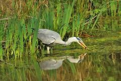 Heron (eve.jones39) Tags: nature outdoor outside warwick birds water lakes