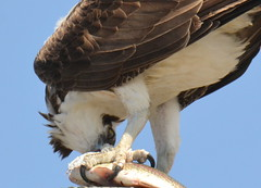 DSC_0335 (tracie7779) Tags: fishhawk huntingtonbeach pandionhaliaetus seahawk sunsetaquaticmarina westernosprey bird hawk osprey predation