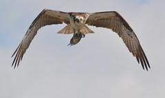 DSC_0359 (tracie7779) Tags: fishhawk huntingtonbeach pandionhaliaetus seahawk sunsetaquaticmarina westernosprey bird hawk osprey predation