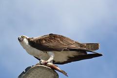 DSC_0352 (tracie7779) Tags: fishhawk huntingtonbeach pandionhaliaetus seahawk sunsetaquaticmarina westernosprey bird hawk osprey predation