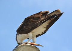DSC_0348 (tracie7779) Tags: fishhawk huntingtonbeach pandionhaliaetus seahawk sunsetaquaticmarina westernosprey bird hawk osprey predation