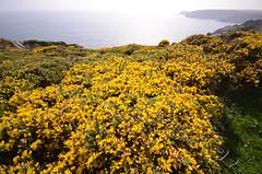 Cornwall yellow (Follow Your Nose) Tags: bw cornwall britain acorn coastal walk
