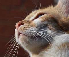 Jambo (RedPlanetClaire) Tags: cat cats feline cute pet furry jambo ginger white kitten kitty sunshine smile