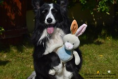 Somebunny to hold.... (ASHA THE BORDER COLLiE) Tags: easter bunny dog picture ashathestarofcountydown connie kells county down photography
