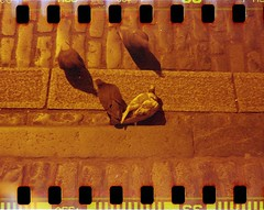 Pigeons (Myahcat) Tags: redscale 35mm film kodakbrownie adapted sprockets spring london analogue coventgarden pigeons birds cobbles believeinfilm bifscale