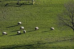 D21033.  Sheep safely grazing (Ron Fisher) Tags: polesdenlacey surrey surreyhills england southernengland gb greatbritain uk unitedkingdom europe europa countryhouse nationaltrust panasonic lumix fz1000 panasoniclumixfz1000 grass meadow sheep animal countryestate farm farmanimals