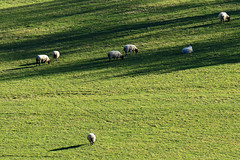 D21029.  Safely, sheep may graze. (Ron Fisher) Tags: polesdenlacey surrey surreyhills england southernengland gb greatbritain uk unitedkingdom europe europa countryhouse nationaltrust panasonic lumix fz1000 panasoniclumixfz1000 grass meadow sheep animal countryestate farm farmanimals