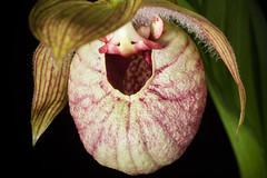 [Sichuan, China / 中国 四川省] Cypripedium franchetii '#190201' Rolfe, Orchid Rev. 20: 358 (1912) (sunoochi) Tags: フランケティ orchidlover flowers plants nature ラン sichuan anggrek orquideas 植物 plantmorphology 四川省 シプリペディウム china franchetii orchidspecies 蘭 中国 orchid green cypripedium botany species orchids