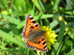 First Butterfly (sam2cents) Tags: smalltortoiseshell butterfly insect bug wings colour color nature wildlife wicklow ireland