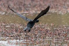 fanniestebbins2019-47 (gtxjimmy) Tags: nikond7500 nikon d7500 longmeadow massachusetts spring fanniestebbinswildlifesanctuary fanniestebbins bird cormorant doublecrestedcormorant