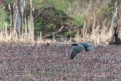 fanniestebbins2019-45 (gtxjimmy) Tags: nikond7500 nikon d7500 longmeadow massachusetts spring fanniestebbinswildlifesanctuary fanniestebbins bird cormorant doublecrestedcormorant