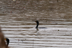 fanniestebbins2019-44 (gtxjimmy) Tags: nikond7500 nikon d7500 longmeadow massachusetts spring fanniestebbinswildlifesanctuary fanniestebbins bird cormorant doublecrestedcormorant