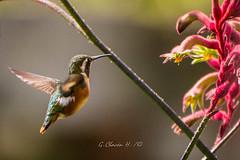 Zumbador ventriblanco o Colibrí abeja, Whited-Bellied Woodstar, Chaetocercus-Acestrura mulsant (G.Chacon H.) Tags: avesencolombia birds birdsincolombia chaetocercusacestruramulsant colibries hummingbird pajaros whitedbelliedwoodstar zumbadorventriblancoocolibríabeja aves fauna