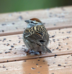 Chipping sparrow (carpingdiem) Tags: chippingsparrow birds indianapolis spring 2019