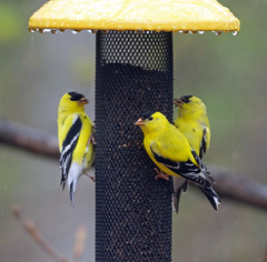 Trio of American goldfinches (carpingdiem) Tags: goldfinches birds indianapolis spring 2019
