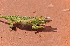 Three-horned Chameleon (Rod Waddington) Tags: africa african afrique afrika uganda ugandan threehorned chameleon wild animal wildlife nature shadow outdoor