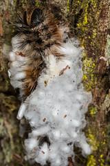 "Parasitised Anthelid Caterpillar (zosterops) Tags: australia tasmania ""liffey falls track"" canoneos6d canonmacrolensmpe65 macro insecta lepidoptera hymenoptera anthelidae cotesia isdromas"