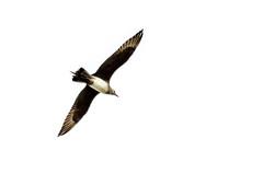 Arctic Skua (Parasitic Jäger) (Stefan Marks) Tags: animal arcticskua bird flying nature outdoor parasiticjäger skua stercorariusparasiticus auckland northisland newzealand