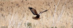 Marsh Harrier J78A0056 (M0JRA) Tags: rspb blacktoft sands birds flying people ponds lakes trees walks marsh harrier