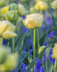Happy Tulip! (karindebruin) Tags: bollen bollenvelden flowers instameet instameetholland keukenhof lisse nederland thenetherlands tulips tulpen zuidholland bloemen bulbs