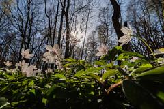 IMGP4925 (jarle.kvam) Tags: hvitveis kvitsymre anemonenemorosa woodanemone flover natur blomst hvit white blanco
