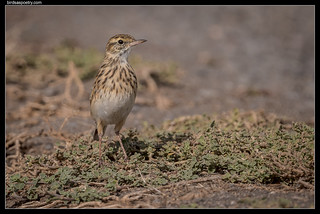 Australasian Pipit: This far and no further!