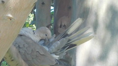 *Dove Love* (Claire B ritchford) Tags: dove feathers clean spring