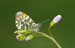 Orange tip (john neal photography) Tags: orangetip butterfly butterflies uk dorset macro insect ladyssmock kingcombemeadows sony nature wildlife