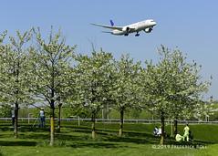 Cherry blossom and Dreamliner (© Freddie) Tags: londonheathrow poyle heathrow lhr egll 09l arrivals spotters united b787 b789 dreamliner n29961 fjroll ©freddie cherryblossom
