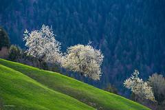 cherry blossom (Rolf Enderes) Tags: 2019 at fraxern kirschblüte cherryblossom österreich