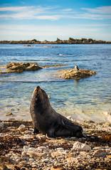 Fur seal - Kaikoura - New Zealand (Valentin.LFW) Tags: newzealand nouvellezeland south hemisphere photographer photography canon aotearoa birds wildlife landscape auckland