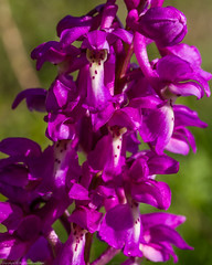 Early Purple Orchid (Orchis mascula) (BiteYourBum.Com Photography) Tags: dawnandjim dawnjim biteyourbum biteyourbumcom copyright©2019biteyourbumcom copyright©biteyourbumcom allrightsreserved uk unitedkingdom gb greatbritain england canoneos7d canonefs60mmf28macrousm apple imac5k lightroom6 ipadair appleipadair camranger manfrotto055cxpro3tripod manfrotto804rc2pantilthead loweproprorunner350aw sussex westsussex southdowns southdownsnationalpark horsebridgehill wisboroughgreen wisborough earlypurple orchid orchis mascula earlypurpleorchid orchismascula