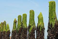 Demoiselles de Jospinet (Arnadel) Tags: pieux moules moulesmarinière bouchots algues mer marée jospinet baiedestbrieuc bretagne piles mussels musselsmarinière algae sea tide bayofstbrieuc brittany cheveux hair vierge virgin