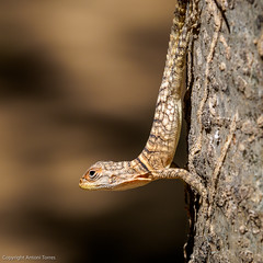 Oplurus cuvieri al bosc de Kirindy (Lagarto de collar de Madagascar o iguana de cola espinada) (vfr800roja) Tags: oplurid llargandaix opluruscuvieri madagascar boscdekirindy kirindy morondava regióndemenabe