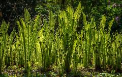 Grüne Farne (KaAuenwasser) Tags: farn farne pflanze grün frühling april 2019 schlossgarten garten park wald