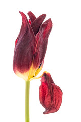 24/100 Falling (JulieMeakins) Tags: 100xthe2019edition 100x2019 image24100 tulip