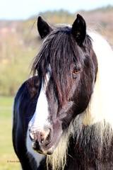 Här är Kevin :) (kaksfotokonto) Tags: horse häst tinker