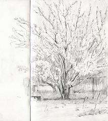 Apricot tree (Bohdan Tymo) Tags: graphite pencil spring countryside