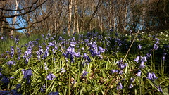 Blue Bells 4 (WildAngle) Tags: blue bell flower wood land country side spring grass tree rural outdoors plant uk