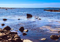 Swan Couple (bjorbrei) Tags: water sea ocean shore rocks coast swans skips tad viker brattestø asmaløy hvaler oslo norway