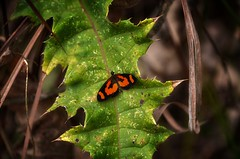 Madagascar (Rod Waddington) Tags: africa afrique afrika madagascar malagasy nature butterfly insect leaf undergrowth forest forrest outdoor wild wildlife