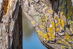 Lichen (tramsteer) Tags: tramsteer slimbridge wood lichen rotting water gloucestershire england europe web spiders