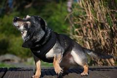 DSC_0020 (Alex Srdic) Tags: dog doggo doge chihuahua pet chihuahuas blackdog tinydog smalldog uk england portsmouth southsea milton rosegardens seafront park