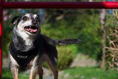 DSC_0013 (Alex Srdic) Tags: dog doggo doge chihuahua pet chihuahuas blackdog tinydog smalldog uk england portsmouth southsea milton rosegardens seafront park