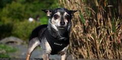 DSC_0006 (Alex Srdic) Tags: dog doggo doge chihuahua pet chihuahuas blackdog tinydog smalldog uk england portsmouth southsea milton rosegardens seafront park
