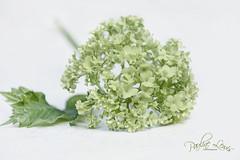 Viburnum (pollylew) Tags: viburnum green greenviburnum