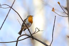Весенняя песня (Yuriy Kuzmenok) Tags: птицы птица природа зарянка животные