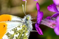 Aurorafalter Anthocharis cardamines m 190422 069 (juergen.mangelsdorf) Tags: braunschweig germany naturschutzgebietriddagshausen niedersachsen nature pieridae tagfalter butterflies weisling